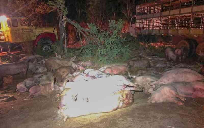 Acidente com caminhão carregado de porcos deixa dezenas de animais mortos