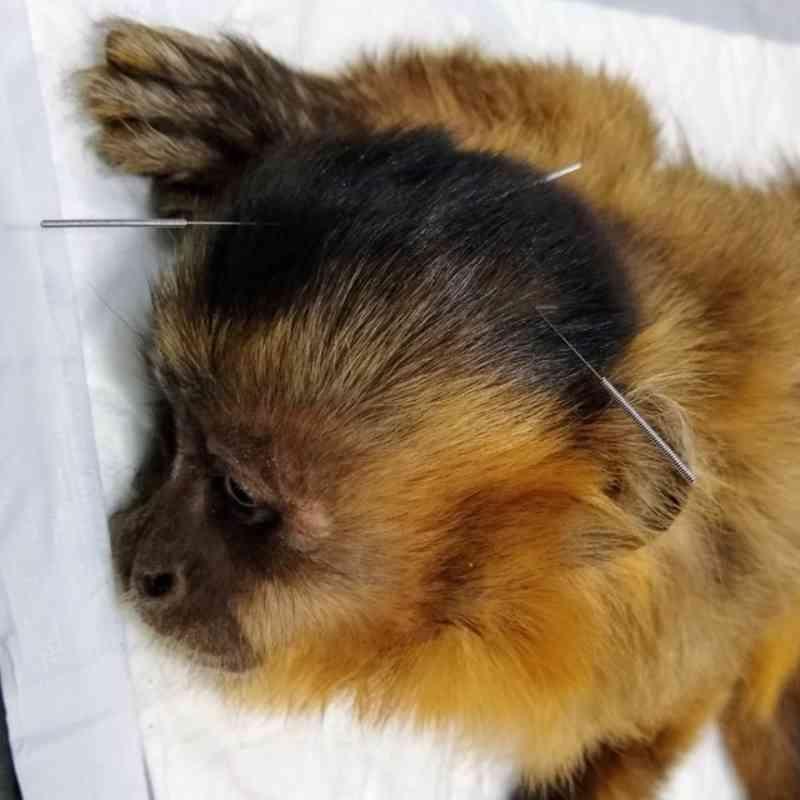 Acupuntura é utilizada no tratamento de macaca com alterações neurológicas; ela foi encontrada desidratada em lixão