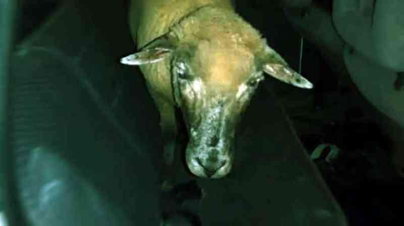 Idoso é acusado de estuprar ovelha após aliciar garoto e não pagar por sexo em Campo Grande, MS
