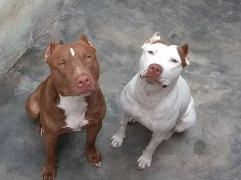 Mulher procura a delegacia após três cachorros pit bulls serem envenenados em Campo Grande, MS