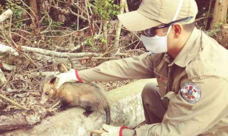 Gambá resgatado em residência é solto em área de preservação em Lucas do Rio Verde, MT