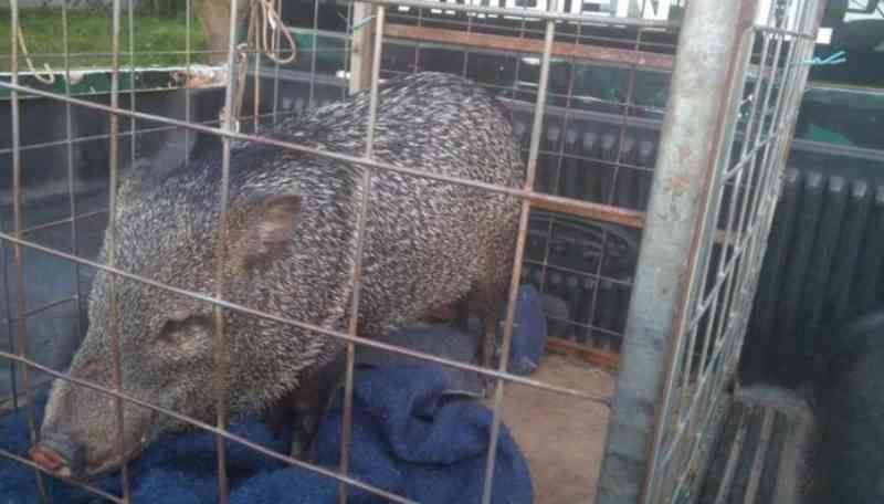Batalhão Ambiental multa mulher que mantinha animal silvestre em cativeiro em MT