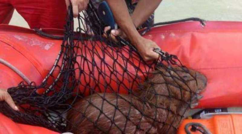 Capivara foi resgatada do mar de Olinda - DIVULGAÇÃO