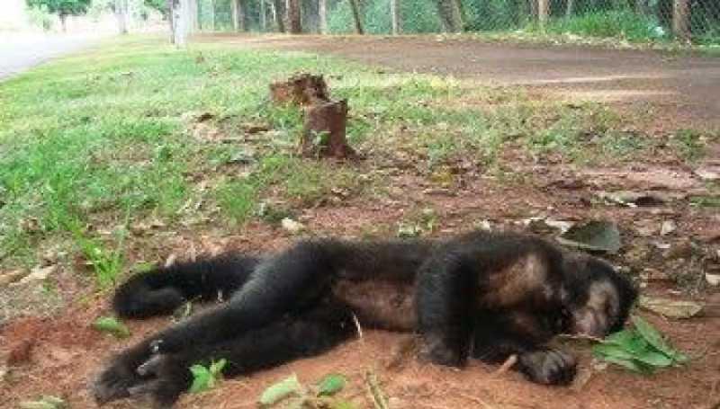 Paraná registra 74 mortes de macacos por febre amarela