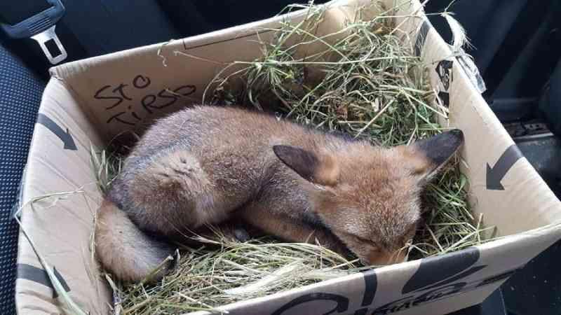 'Bastante debilitada': raposa resgatada pela PSP em rua de Santo Tirso, em Portugal; veja as imagens