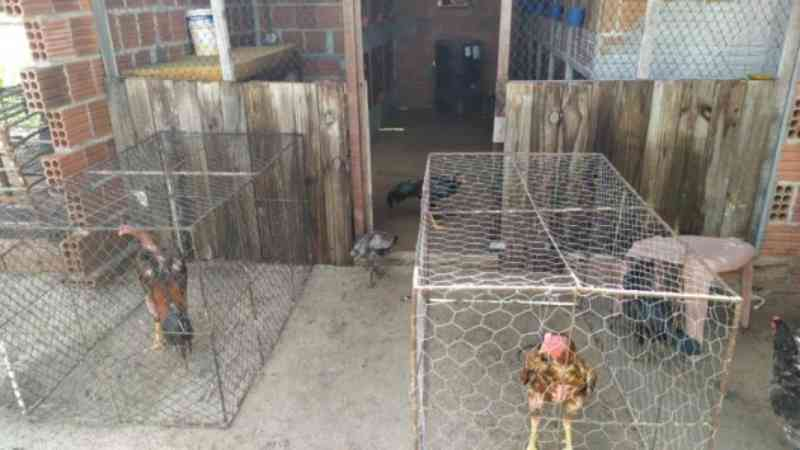 Polícia Militar fecha rinha de galos, detém 30 pessoas e resgata animais em Guamaré, RN
