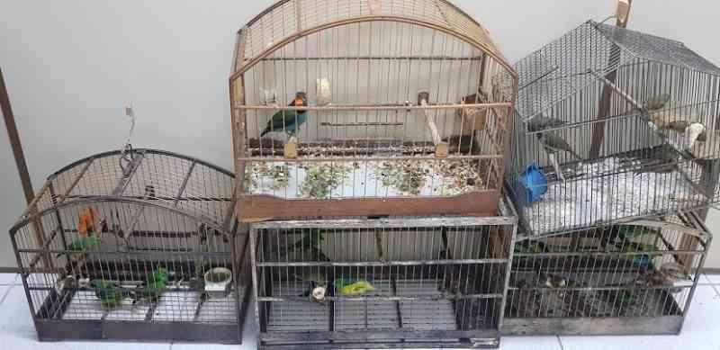 Operações ambientais resgatam 150 aves mantidas dentro de caixas de leite na Grande Florianópolis, SC