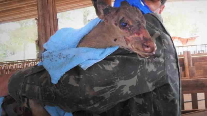Veado queimado é resgatado da zona rural de Araraquara, SP