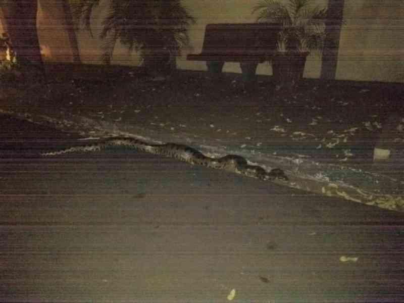 Motorista 'abandona' sucuri de quatro metros na frente de casa em Bady Bassitt (SP); veja o vídeo