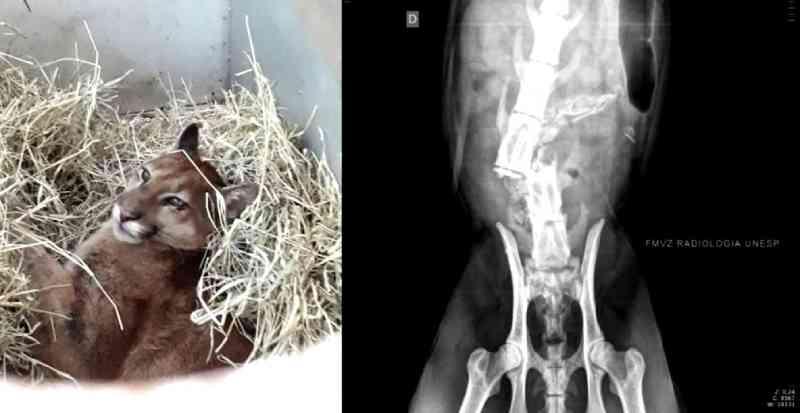 Onça-parda resgatada em rodovia de Bauru (SP) é sacrificada após diagnóstico de lesão irreversível na coluna