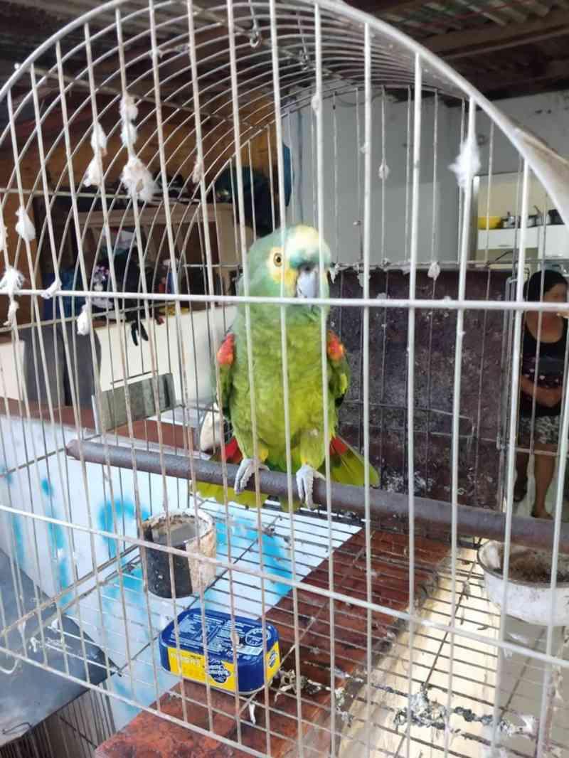 Operação contra o tráfico resulta na apreensão de aves silvestres mantidas em cativeiro em Pirapozinho, SP