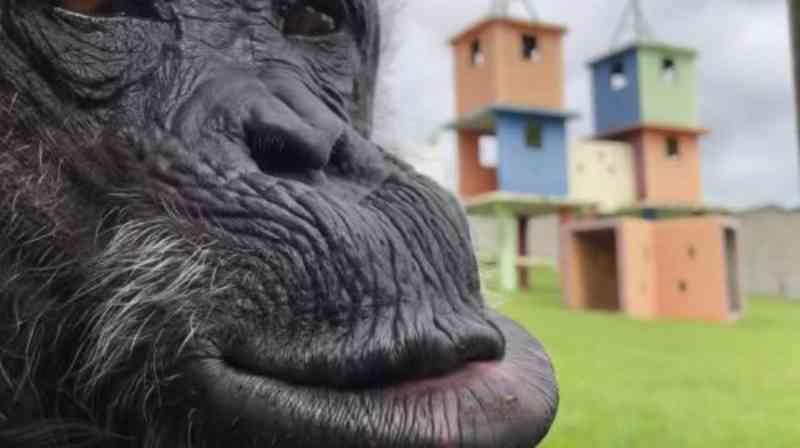 Momentos da chimpanzé Cecília, libertada por Habeas Corpus, no Santuário de Grandes Primatas de Sorocaba/SP