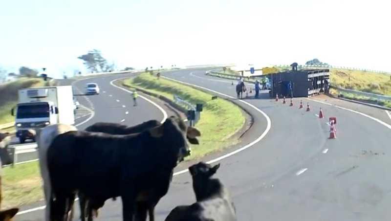 Caminhão carregado com bois tomba na rodovia e animais ficam soltos na pista — Foto: TV TEM/Reproduçõ