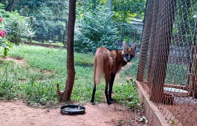 Lobo-guará é capturado após fugir do zoológico de Catanduva, SP