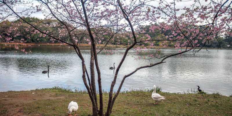 Polícia prende integrante de quadrilha que sequestra cisnes no Ibirapuera, em SP