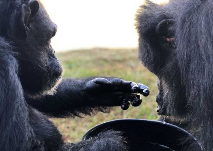 Black deixou o zoológico, onde vivia há mais de 40 anos, após uma decisão judicial. Crédito da foto: Divulgação / Santuário dos Grandes Primatas