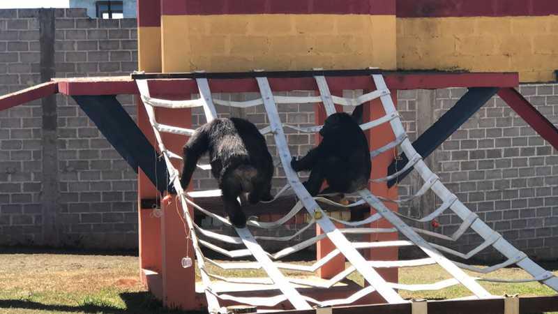 Segundo os administradores do GAP, Black e Dolores se dão bem vivendo juntos. Crédito da foto: Divulgação / Santuário dos Grandes Primatas