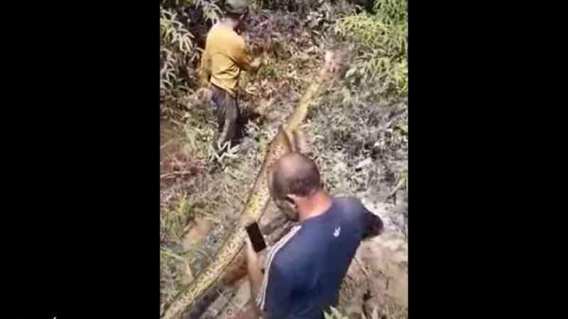 Homem mata sucuris a tiros e pode ser autuado por crime ambiental