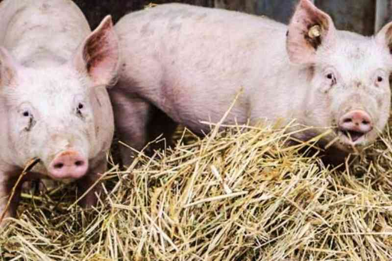 Vírus que matou milhões de animais na China avança pelo mundo