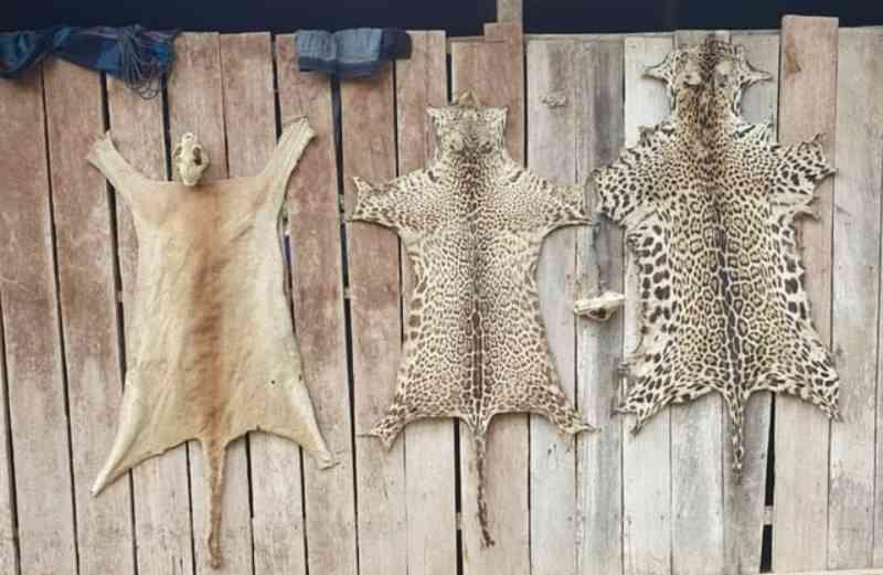 Homem é preso com 160 kg de carne de caça e peles de onças no Parque Estadual Chandless, no AC