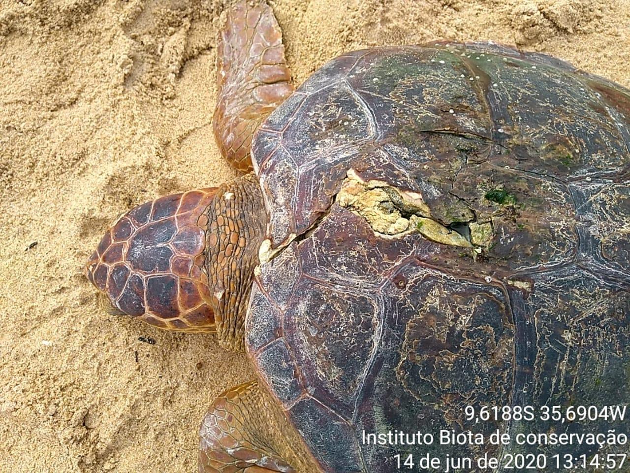 Tartaruga é resgatada ferida na praia de Cruz das Almas, em Maceió, AL