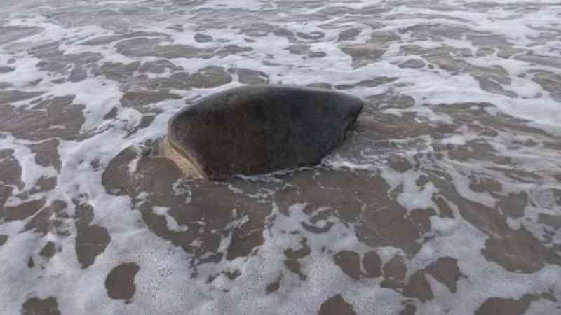 Duas tartarugas são encontradas encalhadas no litoral de Alagoas