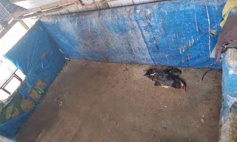 Mais de 30 animais são resgatados em rinha de galo em Manaus, AM