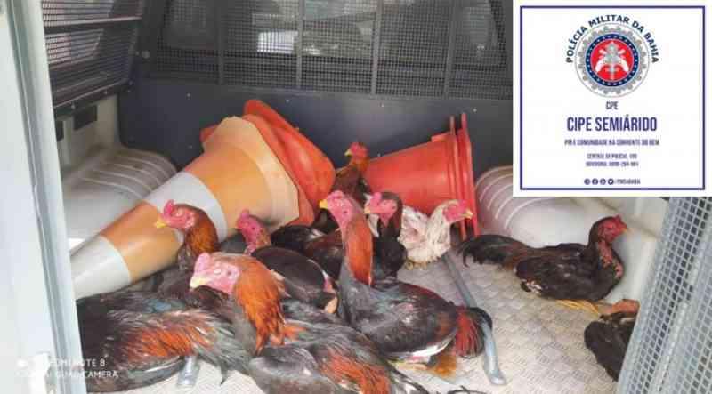 CAESA estoura rinha de galo em fazenda em Xique-Xique (BA); 10 animais sofriam maus-tratos