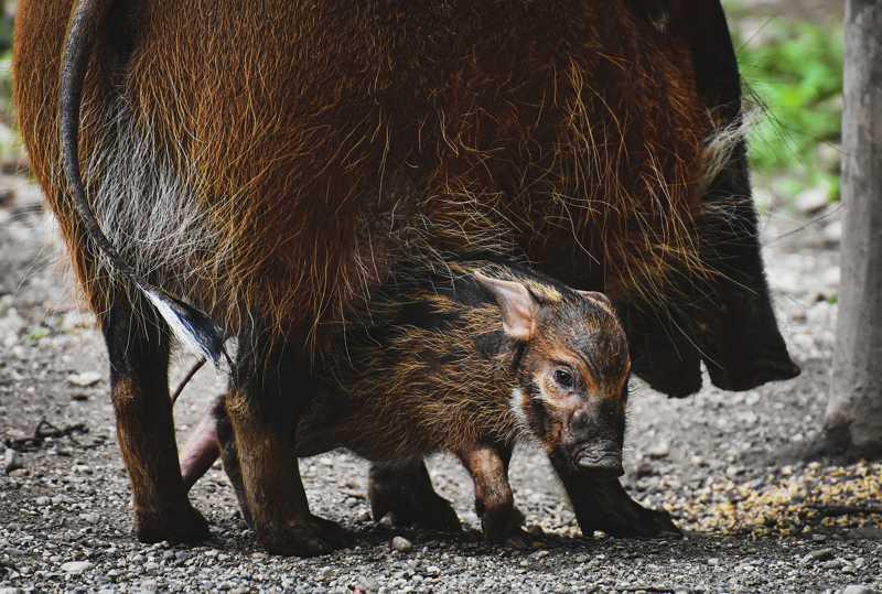 ONG Olhar Animal aciona Justiça Federal contra a CAÇA e afirma: 'Caçadores estão aumentando a população de javalis'