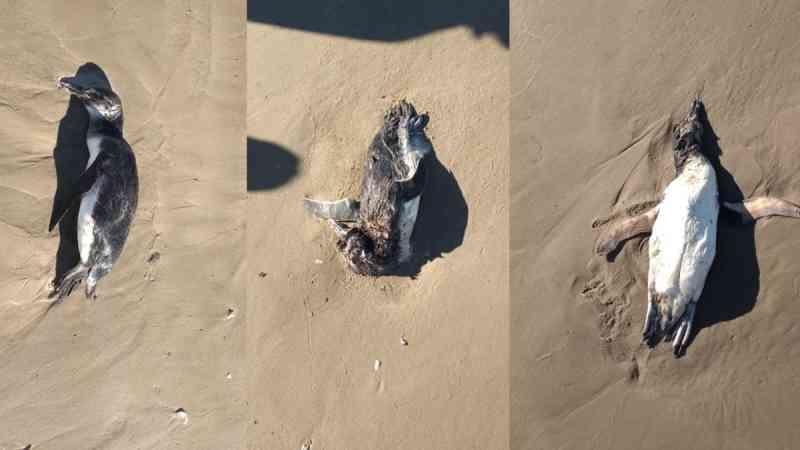 Pinguins aparecem mortos na beira da praia, em Balneário Morro dos Conventos, Araranguá, SC