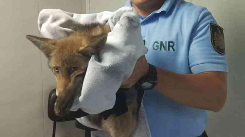 Portugal: militares ajudam jovem raposa em Braga. Animal foi atropelado