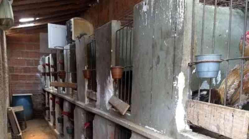 Rinha de galo é desativada pela Polícia Ambiental em Juazeiro do Norte, CE; dois homens são detidos