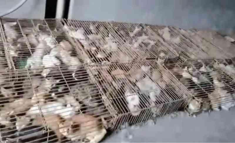 Centenas de gatos que virariam alimento são flagrados em gaiolas