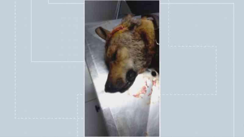 Cachorro fratura crânio após ser atingido com golpes de facão no DF