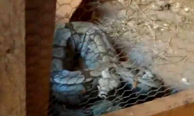 Polícia encontra cinco cobras que estavam sendo criadas dentro de construção, em Pontalina, GO