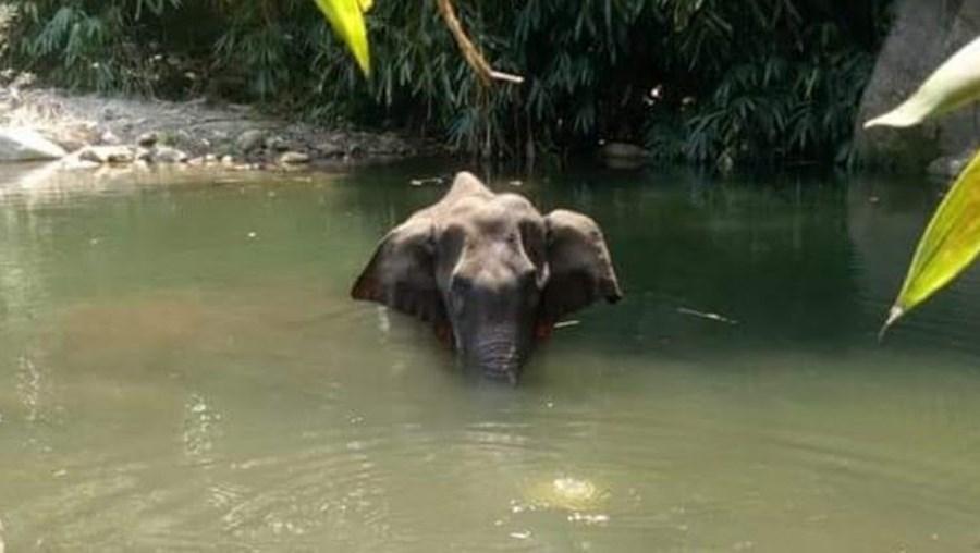 Elefante grávida comeu abacaxi recheado com explosivos na Índia