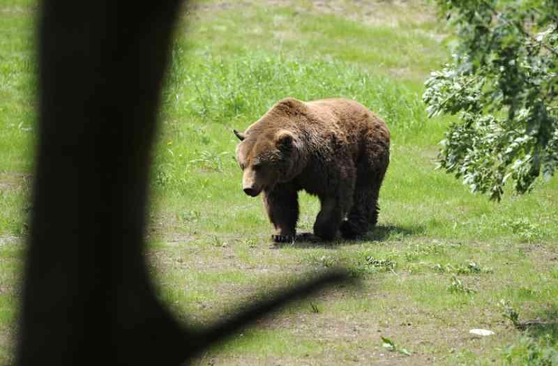 Ativistas querem salvar urso em Itália e até um ministro se juntou à causa