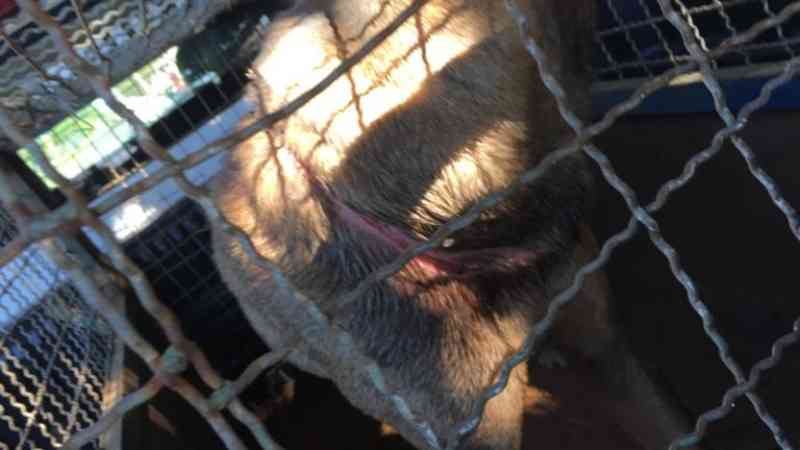 Cadela é resgatada com ferimento profundo em volta do pescoço