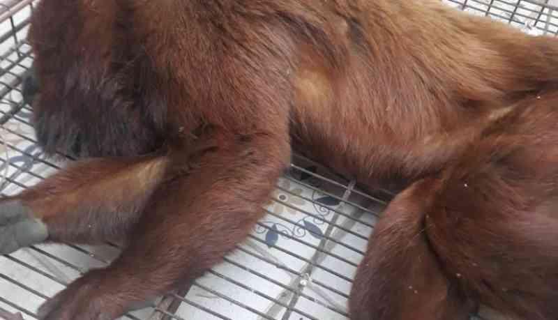Macaco bugio atingido por tiro é resgatado em rodovia, socorrido, mas não resiste aos ferimentos