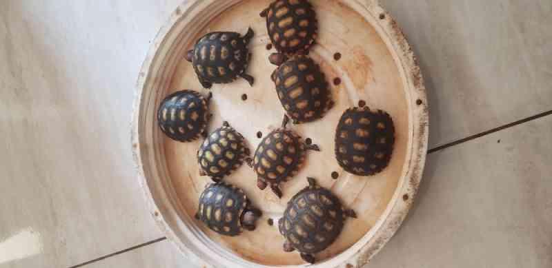 Após denúncia de comércio nas redes sociais, Polícia de Meio Ambiente resgata jabutis e tartarugas em Uberlândia, MG