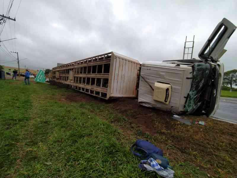 Caminhão boiadeiro tomba em rotatória e deixa animais mortos em Anastácio, MS