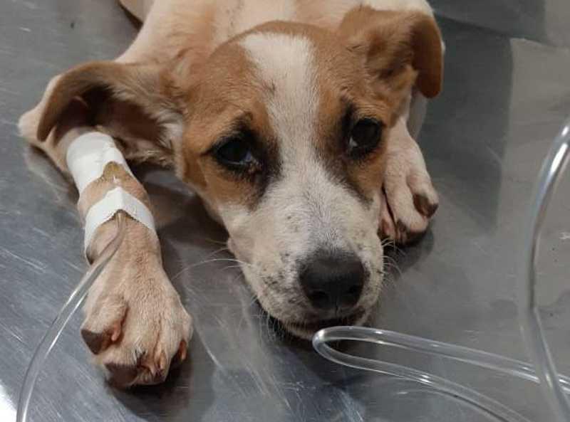 Cachorrinha não resistiu à desnutrição e morreu. (PMA, Divulgação)