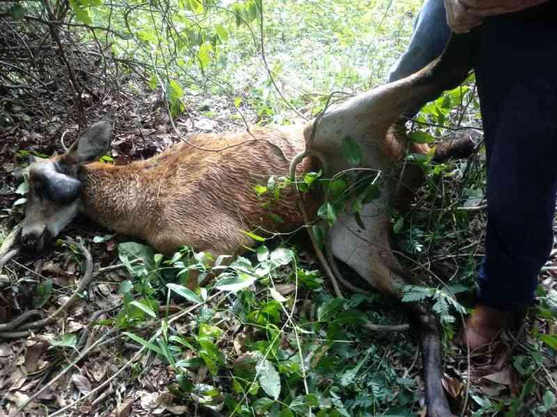 Operação resgata cervo-do-pantanal com ferimentos graves à margem de rodovia