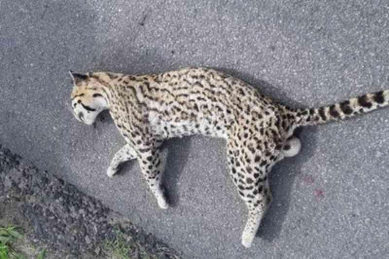 Gato-maracajá atropelado em rodovia da Paraíba é recolhido pela Polícia Rodoviária Federal