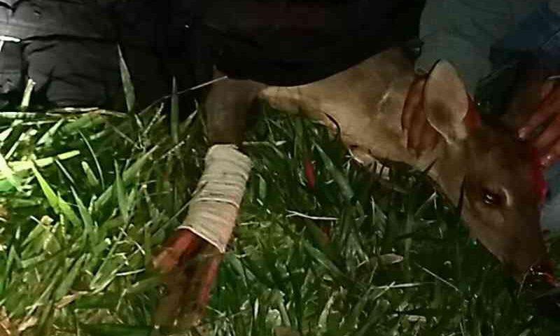 Cervo é resgatado após ser atropelado e sofrer fratura exposta na BR-373 em Ponta Grossa, PR