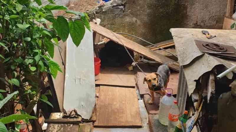 Portugal: associação madeirense resgata cadela acorrentada e com um prolapso uterino grave