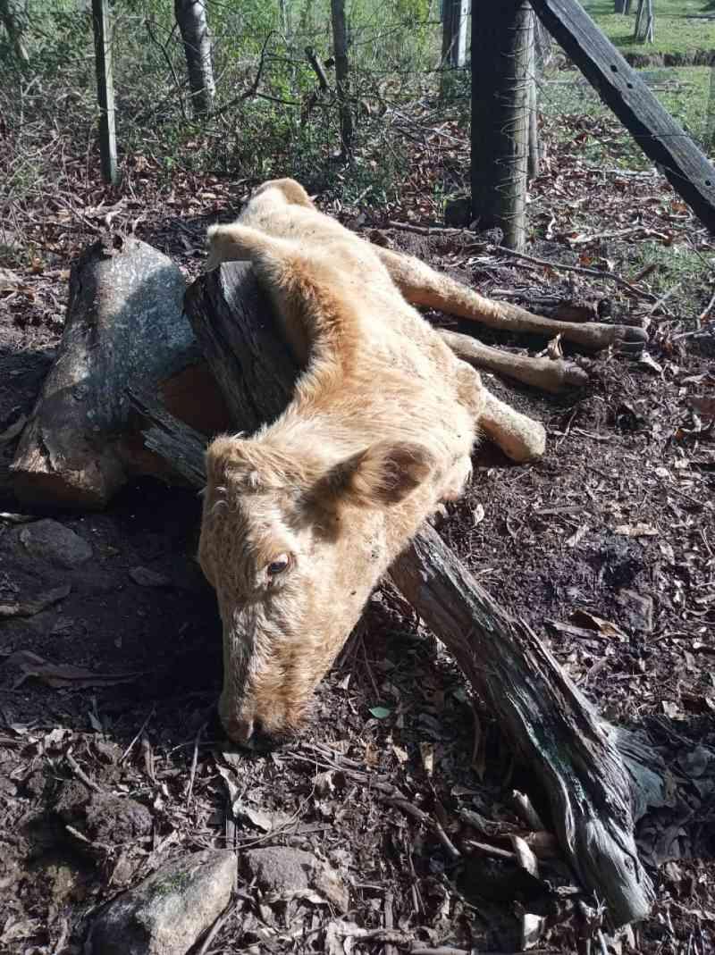 Animais em situação de maus-tratos são encontrados no interior de Bento Gonçalves, RS