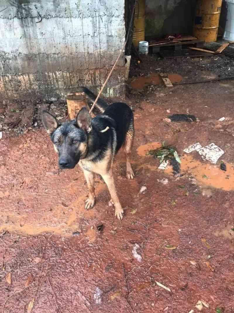 Cachorro amarrado em local desprotegido da chuva e sem condições de sobrevivência é flagrado em Chapecó, SC