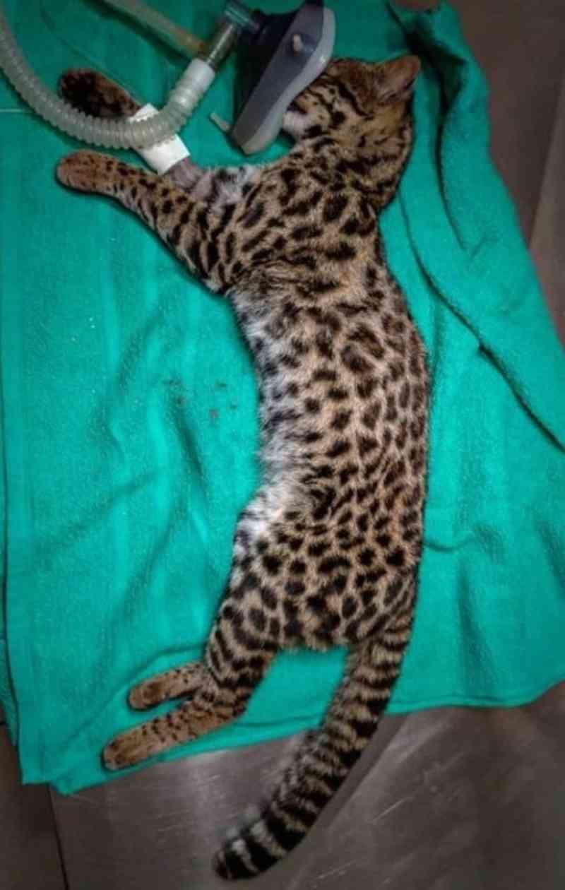 Gato-do-mato atropelado é resgatado e levado para clínica veterinária em São Bento do Sul, SC