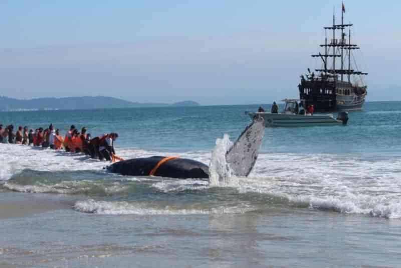 Após desencalhe em praia de Florianópolis, baleia volta para o alto-mar